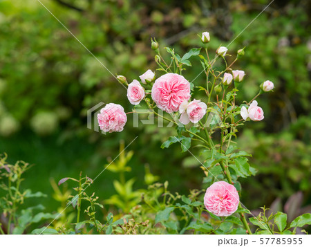 Natural summer background with David Austin pink peony roses. Beautiful blooming flowers on green leaves background. 57785955