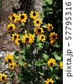 サンビタリア(蛇の目菊) 57795316