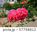ピンクのサルスベリ(百日紅) 57798812