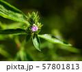 キツネノマゴ(狐の孫) 57801813