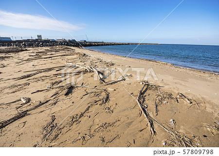浜辺に打ち上げられた流木 流木拾い 57809798