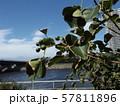 これから黒く熟し白い種を生むナンキンハゼの未熟な実 57811896