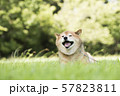 風を感じる柴犬 57823811