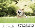 風を感じる柴犬 57823812