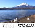 山中湖 コブハクチョウと富士山 57826888