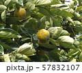 今年も沢山なった我が家のもうすぐ熟す柿の実 57832107