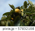 今年も沢山なった我が家のもうすぐ熟す柿の実 57832108