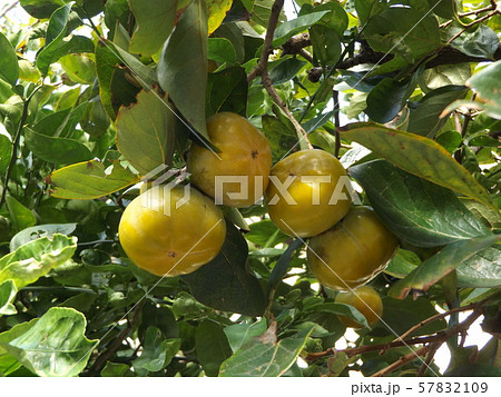 今年も沢山なった我が家のもうすぐ熟す柿の実 57832109