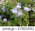 秋の七草フジバカマの紫色の花 57832691