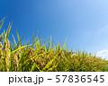 収穫時期を迎えた稲と青空のコピースペース 57836545