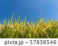 収穫時期を迎えた稲と青空のコピースペース 57836546