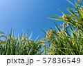 収穫時期を迎えた稲と青空のコピースペース 57836549