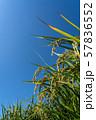 収穫時期を迎えた稲と青空のコピースペース 57836552
