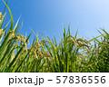 収穫時期を迎えた稲と青空のコピースペース 57836556