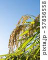 収穫時期を迎えた稲と青空のコピースペース 57836558
