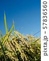 収穫時期を迎えた稲と青空のコピースペース 57836560