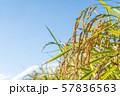 収穫時期を迎えた稲と青空のコピースペース 57836563