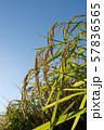 収穫時期を迎えた稲と青空のコピースペース 57836565