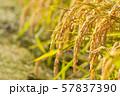 収穫時期を迎えた稲と青空のコピースペース 57837390