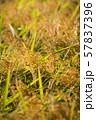 収穫時期を迎えた稲と青空のコピースペース 57837396