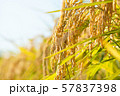 収穫時期を迎えた稲と青空のコピースペース 57837398