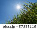 収穫時期を迎えた稲と太陽とコピースペース 57838116