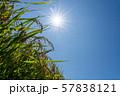 収穫時期を迎えた稲と太陽とコピースペース 57838121