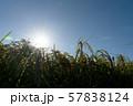 収穫時期を迎えた稲と太陽とコピースペース 57838124