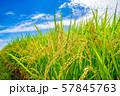 日本の風景「稲穂」 57845763