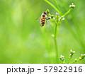 クマツヅラ &ミツバチ 57922916