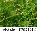 クマツヅラ &ミツバチ(ミツバチの飛行) 57923038