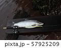 big trout fish 57925209