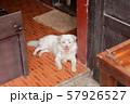 ラオスの眉毛犬2 57926527