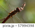 枝先のトンボ アキアカネ c-3 57994398