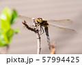 枝先のトンボ アキアカネ e-2 57994425