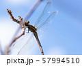 枝先のトンボ アキアカネ h 57994510