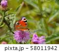 butterfly peacock drinks sweet nectar 58011942
