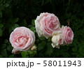 beautiful rose with water drops 58011943
