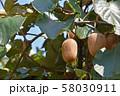 キウイフルーツ 58030911
