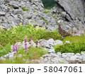 ライチョウ雌と高山植物 58047061