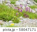 ライチョウ雛と高山植物 58047171