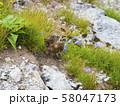 ライチョウ雛と高山植物 58047173