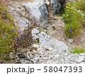 ライチョウ雌と高山植物 58047393