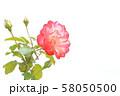 赤いバラ 58050500