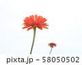 赤いジニア 58050502