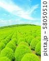 コキア畑 58050510