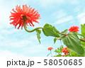 ジニア 58050685