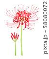 Lycoris radiata[ ヒガンバナ 58080072