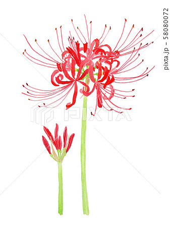 Lycoris radiata[ ヒガンバナ 58080072