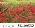 奈良県 彼岸花ロード 58109532